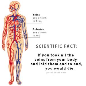 Scientific Fact: If you took all the veins from your body …